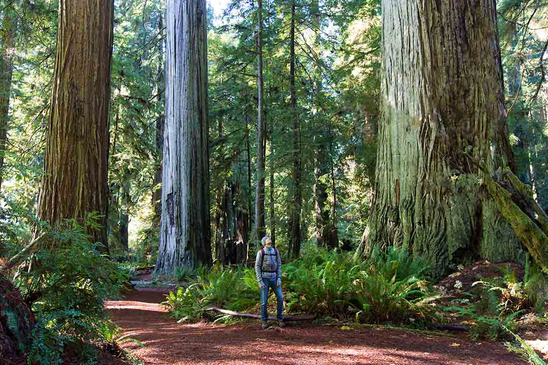 A man enjoying hiking in between giant trees, they are extremely wide and extremely tall